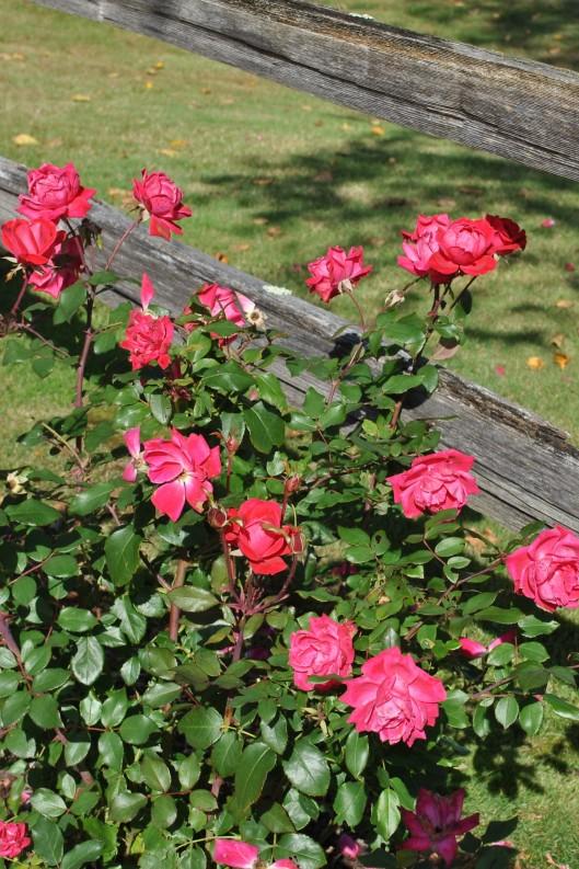 door county roses