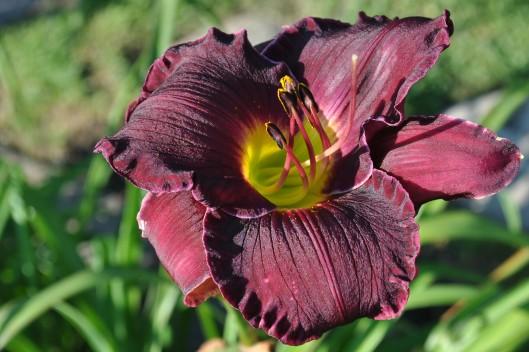 burgendy lily