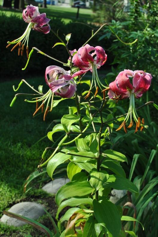 magenta lilies vertical