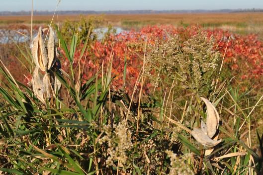 milkweed and sumac