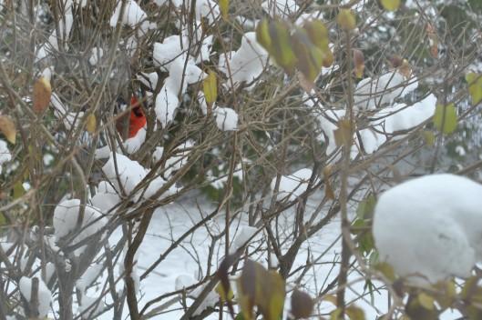 cardinal 003