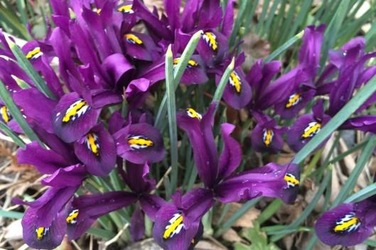 tiny iris landscape