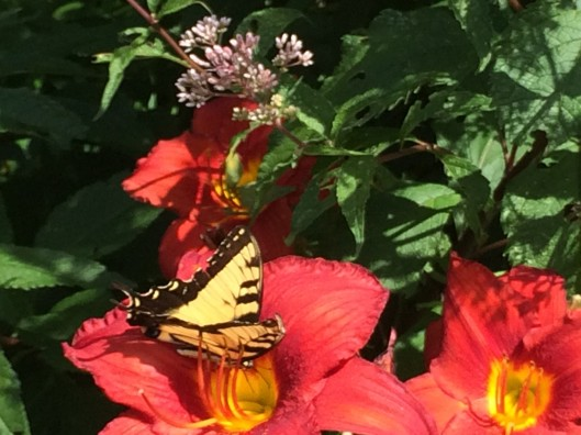 butterfly and lily1