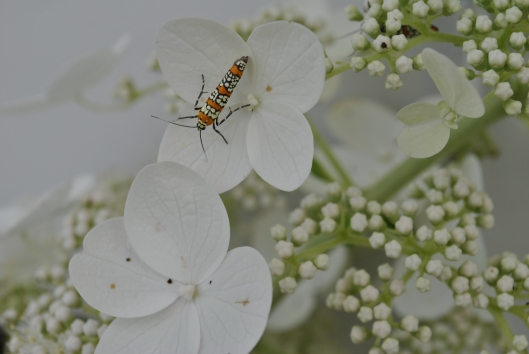 hydrangea with bug