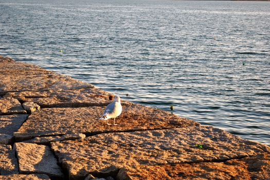 rockland-breakwater-lighthouse-gull-with-urchin