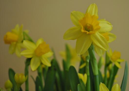 indoor daffodils 1