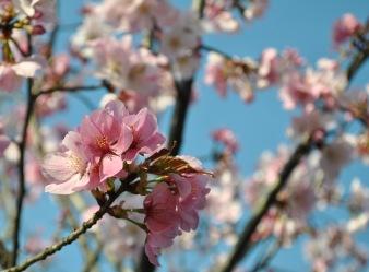 pink cherry blossom closeup