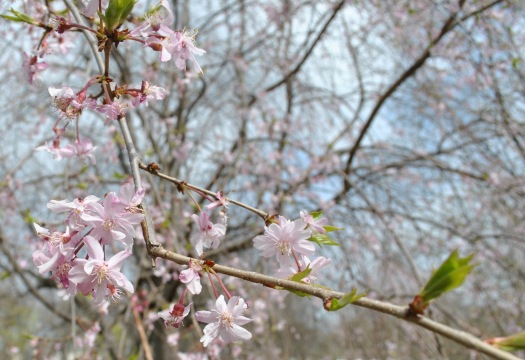 pink cherry blossom closeup3