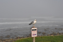 Narragansett foggy shore seagul with funny sign