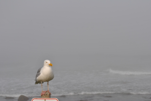 Narragansett Foggy Shore seagull (2)