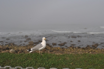 Narragansett foggy shore seagull