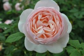 NYBG Rose Garden Pale Pink