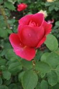 NYBG Rose Garden pink bud