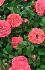 NYBG Rose Garden pinks with a bee