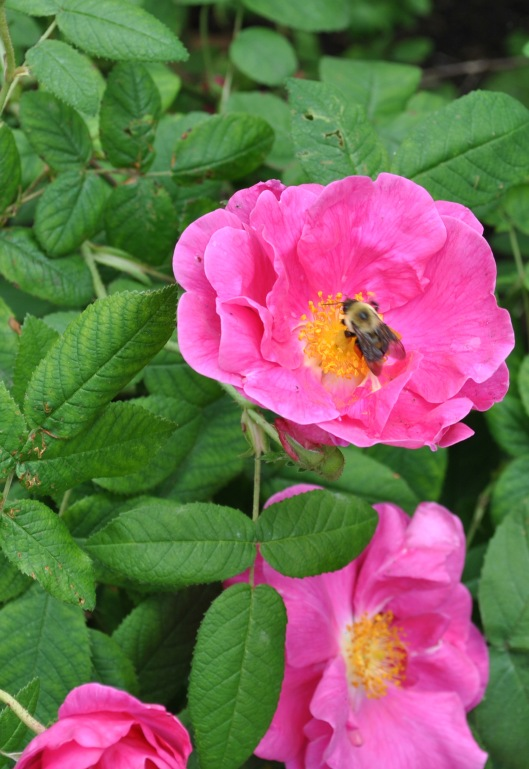pink rose with bee