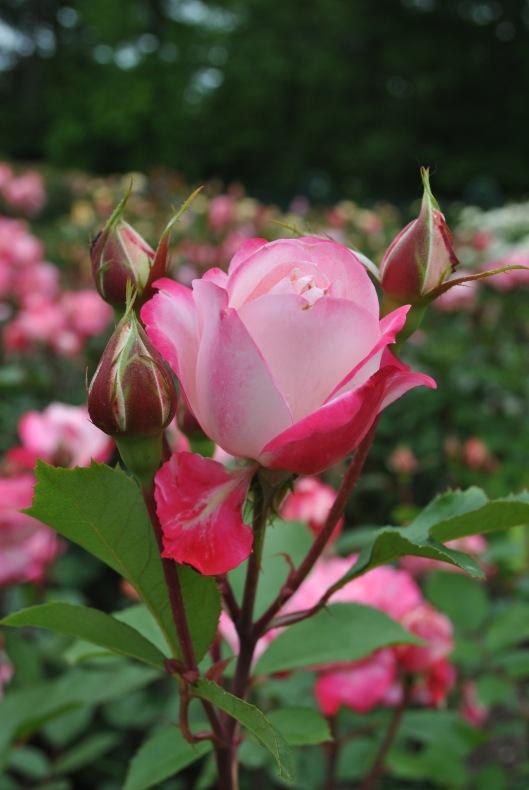 rose bud nybg