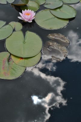 water lily with clouds