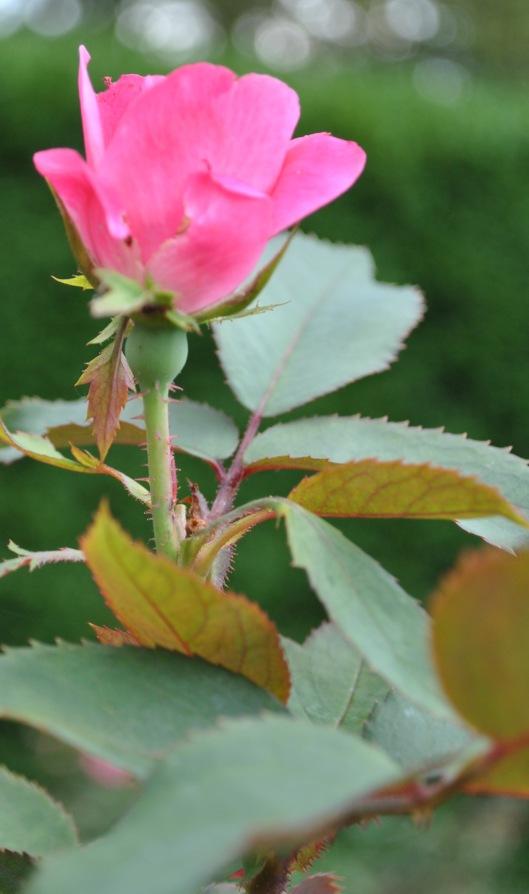 July 2017 rose