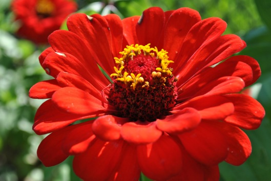 red zinnia day