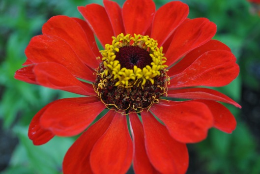 red zinnia evening