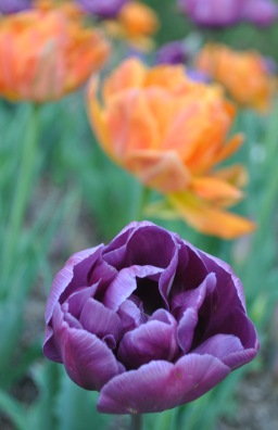closeup orange and purple tulips