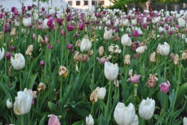 wilting tulips white purple pink
